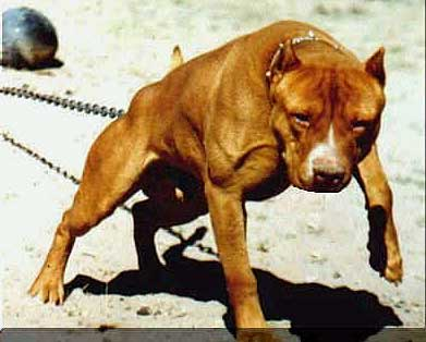 el mejor perro de pelea: